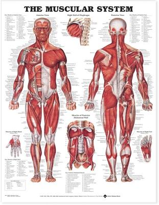 Muscular System - Anatomical Chart Company (Editor), and Anatomical, Chart