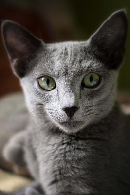 """Russian Blue Cat Journal """"hey, Man. Cat Nip. First Hit Is Free."""": 150 Page Lined Notebook/Diary - Breeds, Cat"""
